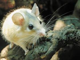 Геморрагическая лихорадка с почечным синдромом или «мышиная лихорадка» (ГЛПС)